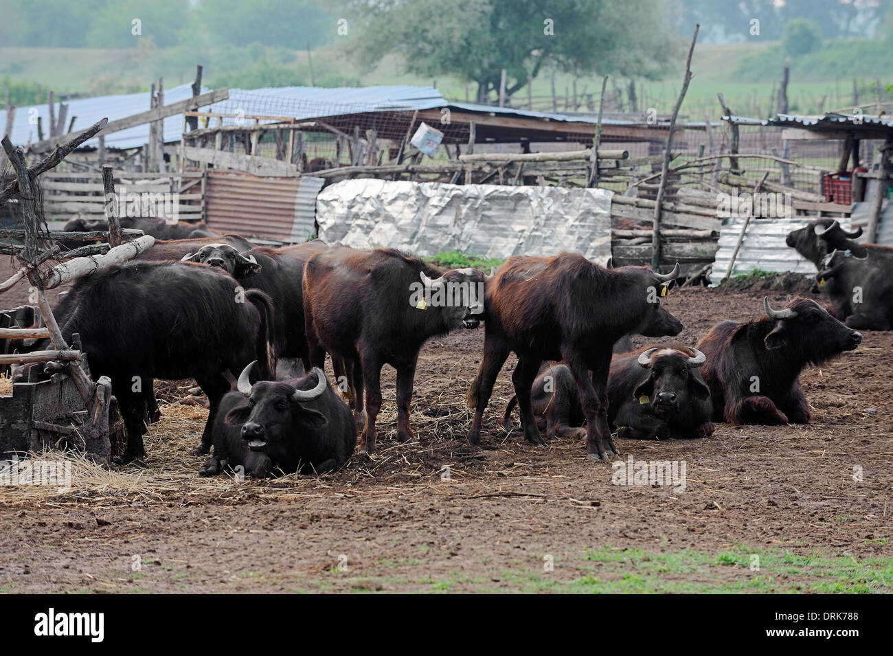 Asian Water Buffalo or Carabao (Bos arnee, Bubalus arnee), group, Greece, Europe - Stock Image