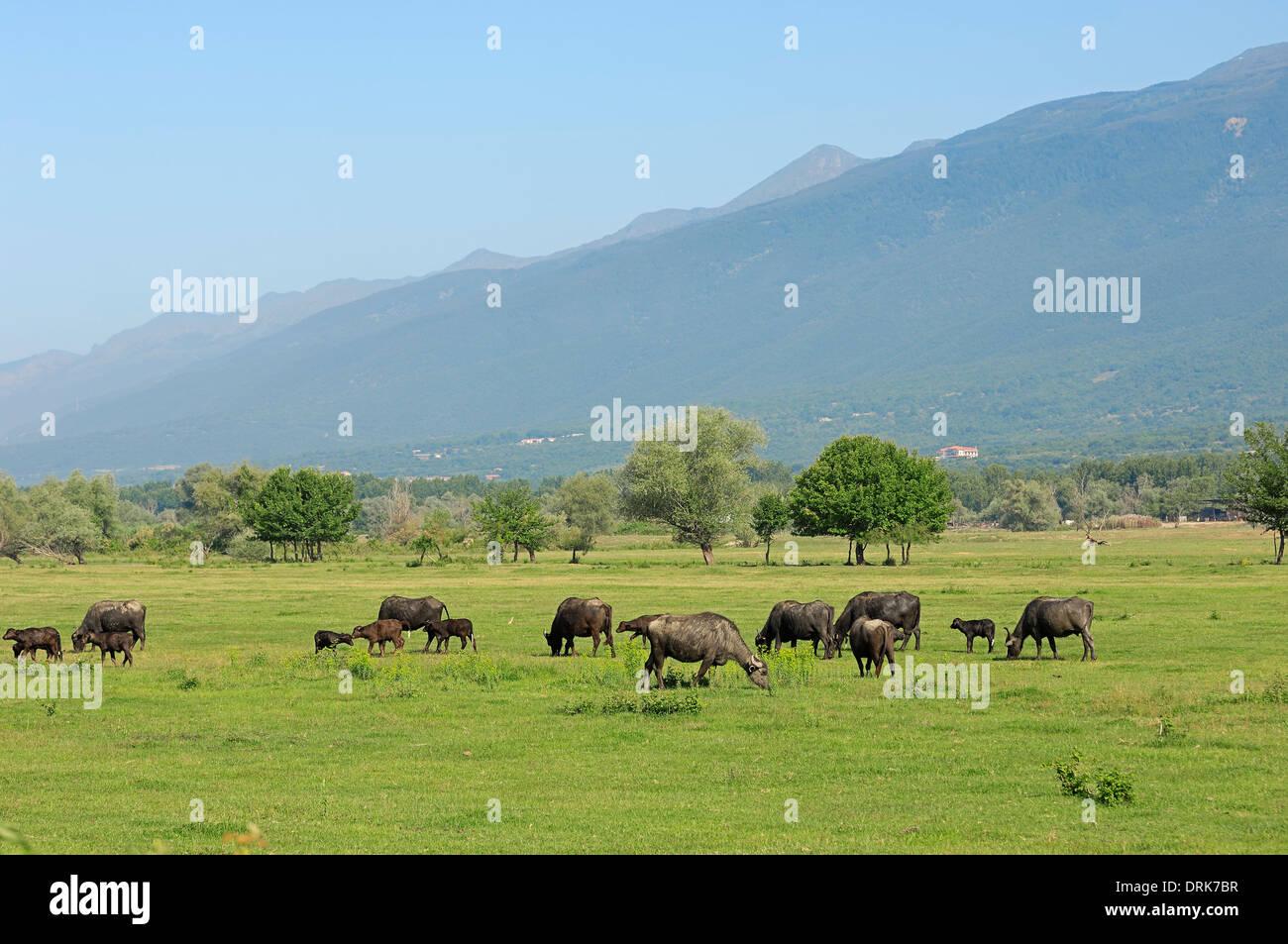 Asian Water Buffalo or Carabao (Bos arnee, Bubalus arnee), group on pasture, Greece, Europe - Stock Image