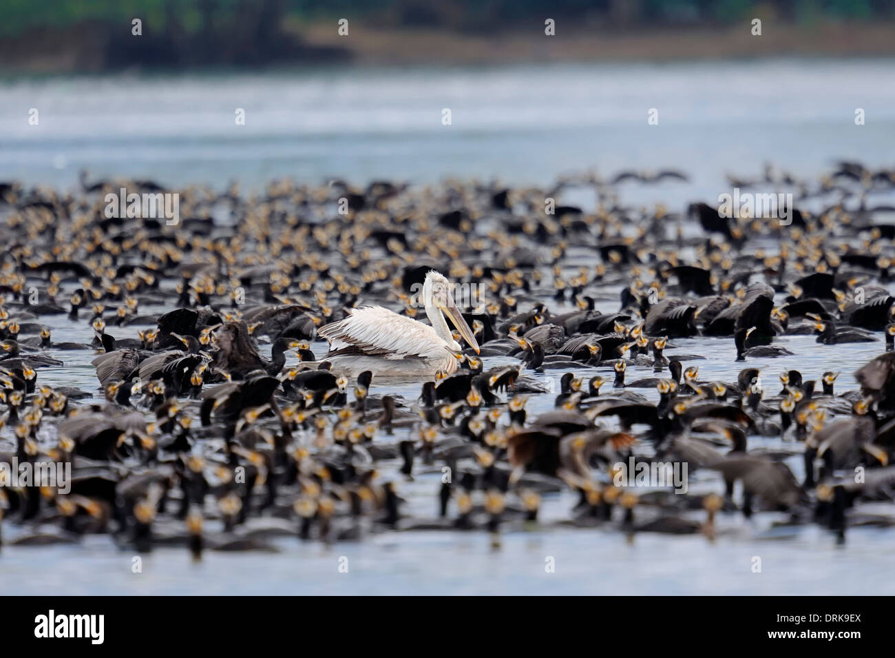 Great Cormorant (Phalacrocorax carbo) and Dalmatien Pelican (Pelecanus crispus), Greece, Europe - Stock Image