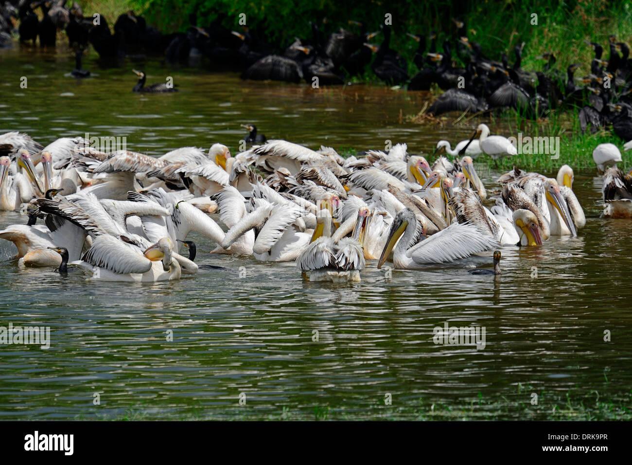 Great Cormorant, (Phalacrocorax carbo) Dalmatien Pelican, (Pelecanus crispus) and White Pelican (Pelecanus onocrotalus) - Stock Image