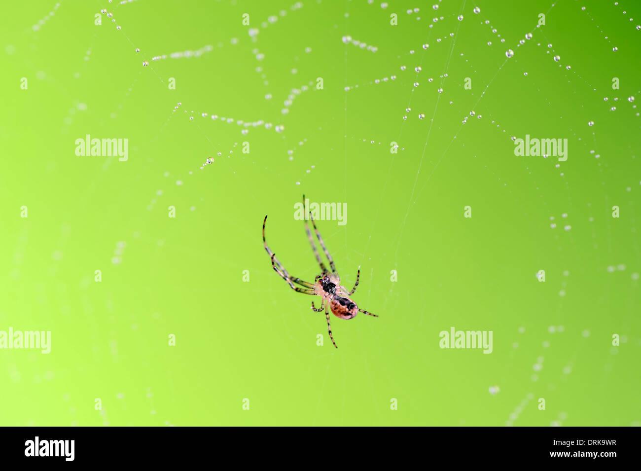 Autumn Orbweaver or Autumn Spider  in web (Metellina mengei), North Rhine-Westphalia, Germany, Europe - Stock Image