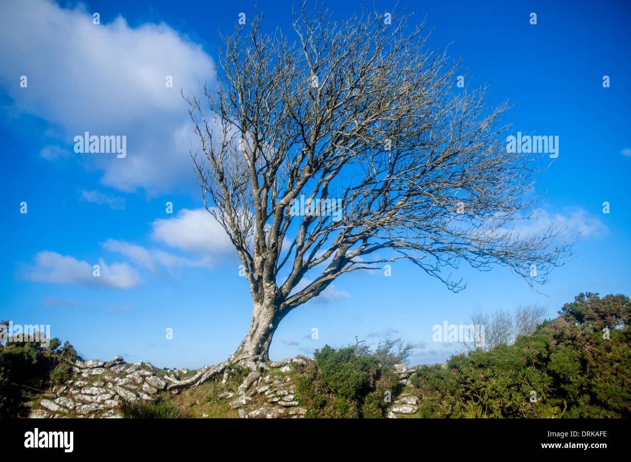 betula pendula, silver birch tree growing on stone wall, devon, uk - Stock Image