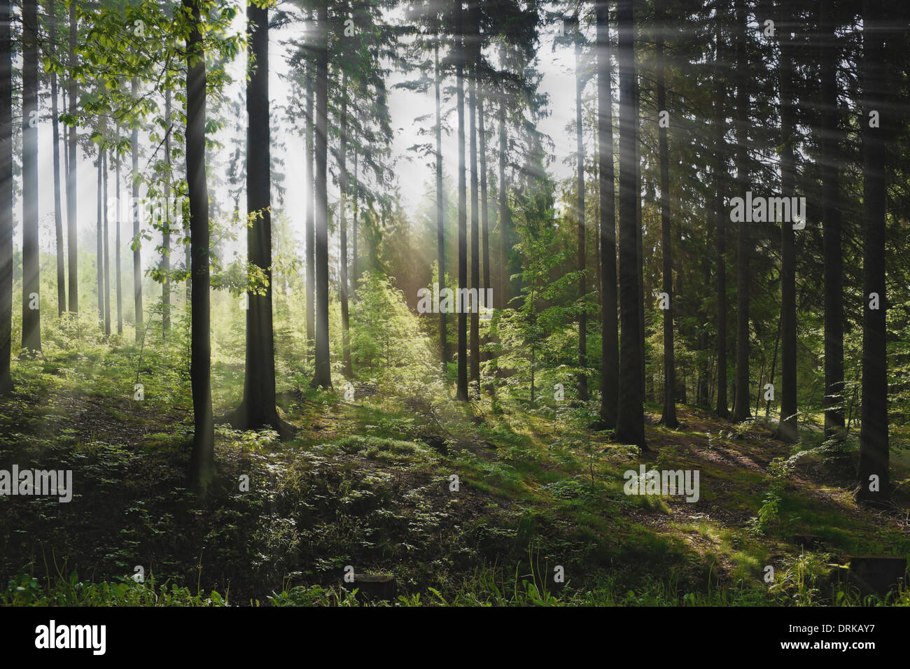 Mixed forest in the summer, the sun shines through the trees, Germany, Europe - Stock Image