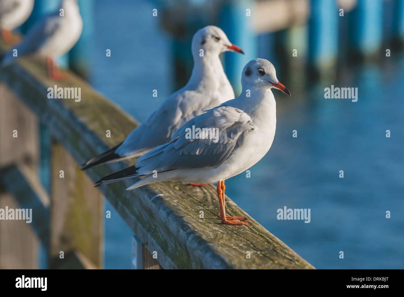 Detail photo of Black-headed Gulls in winter plumage, Mecklenburg-Western Pomerania, Germany, Europe - Stock Image