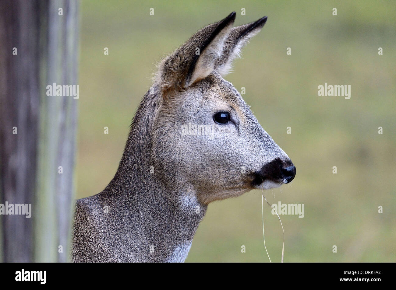 Roe deer in wintertime - 24 January 2014. Stock Photo