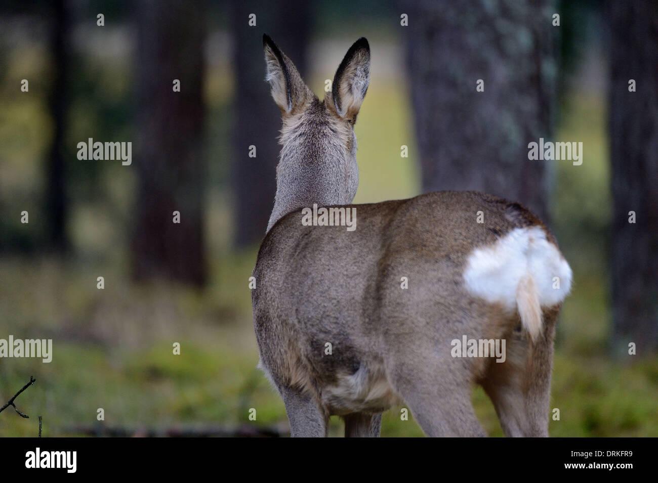 Roe deer in wintertime - 24 January 2014. Stock Photo
