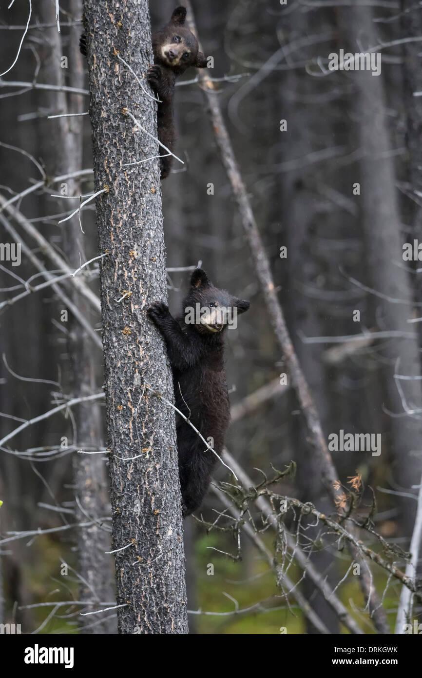 Canada, Rocky Mountains, Alberta. Jasper National Park, American black bear (Ursus americanus) two bear cubs climbing on tree - Stock Image
