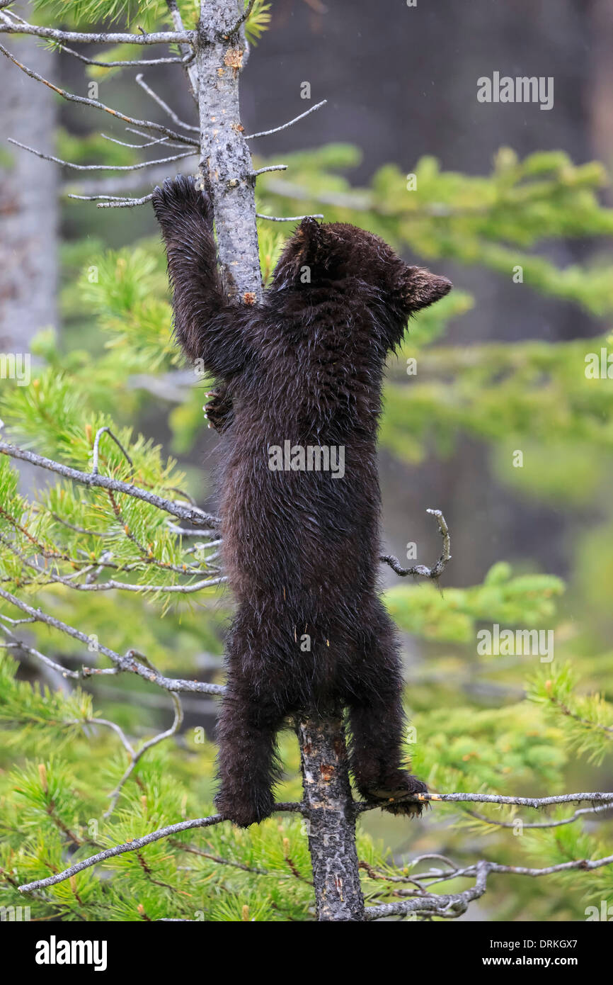 Canada, Rocky Mountains, Alberta. Jasper National Park, American black bear (Ursus americanus) bear cub climbing on tree - Stock Image