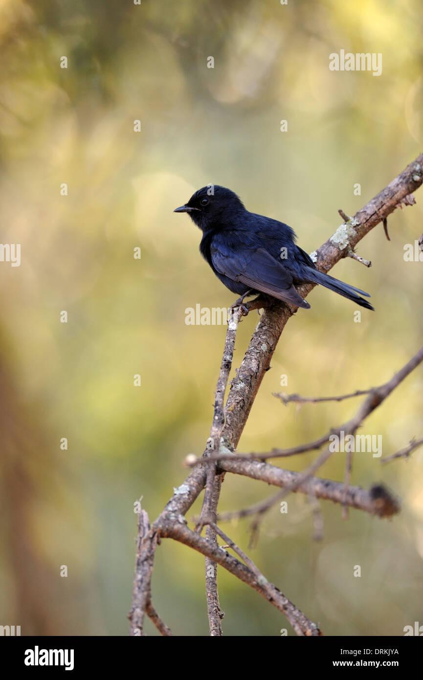 Southern black flycatcher (Melaenornis pammelaina) in Kruger National Park, South Africa - Stock Image