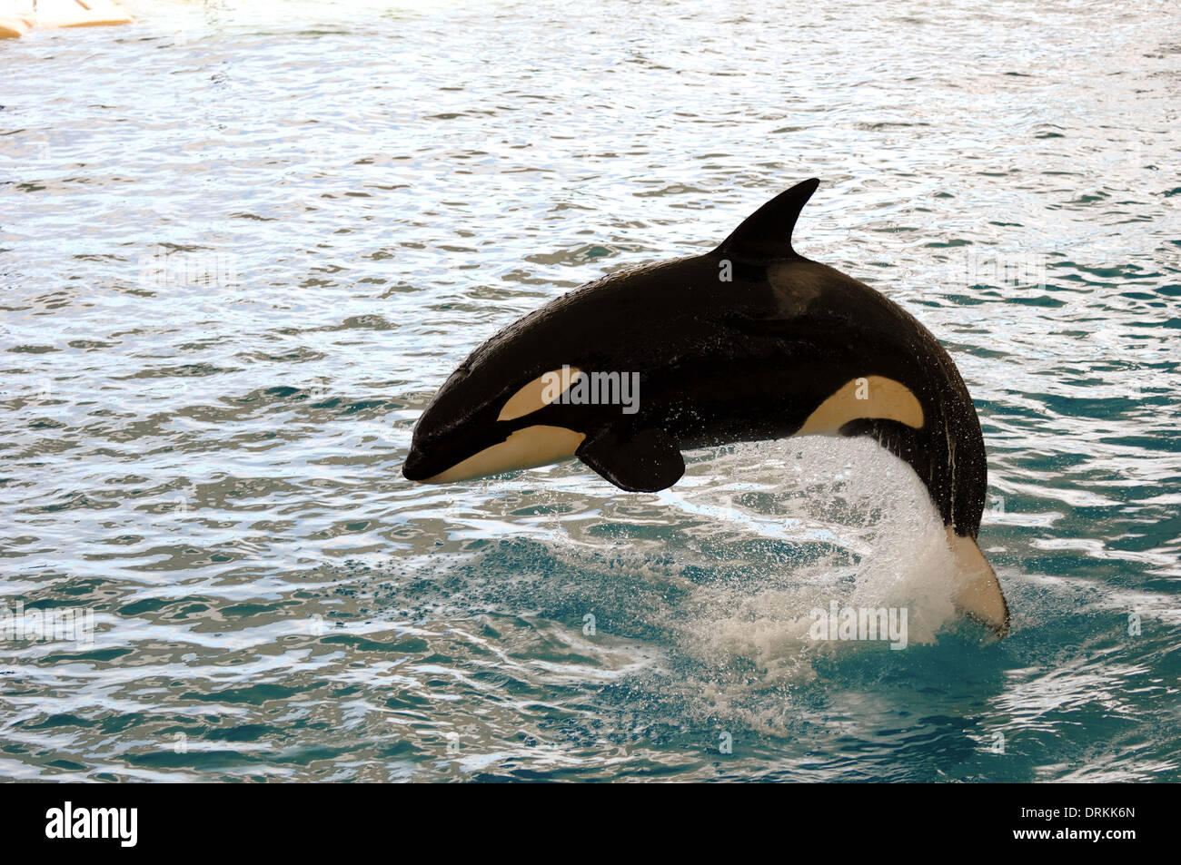 Killer whale is jumping in the water - Stock Image