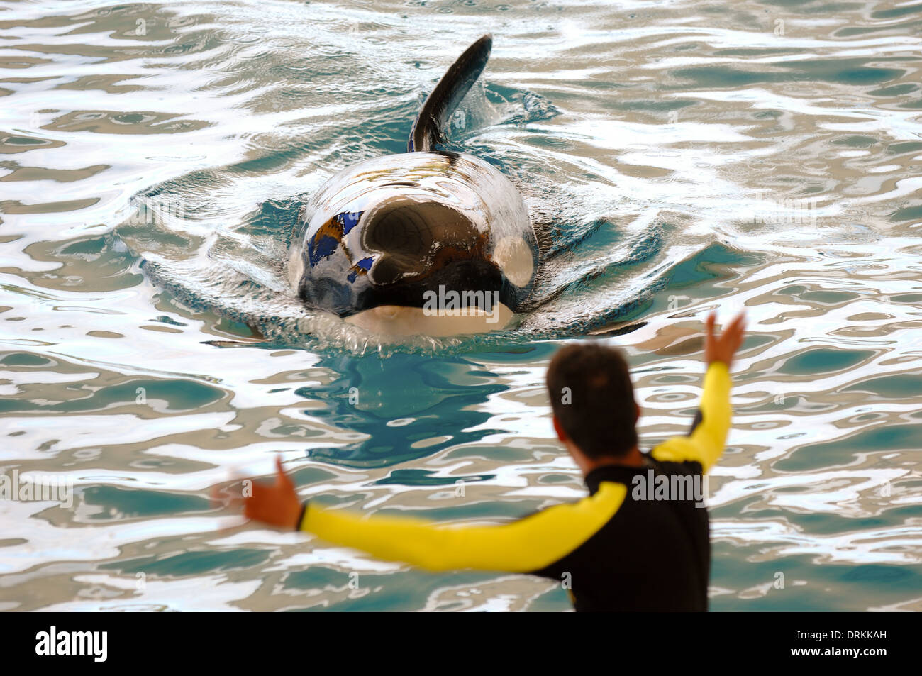 Killer whale and its trainer - Stock Image