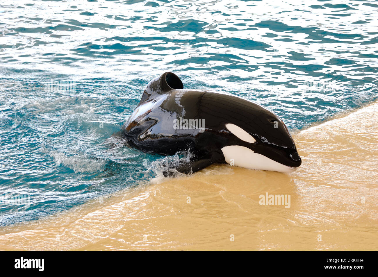 Killer whale in a water world making fun. - Stock Image