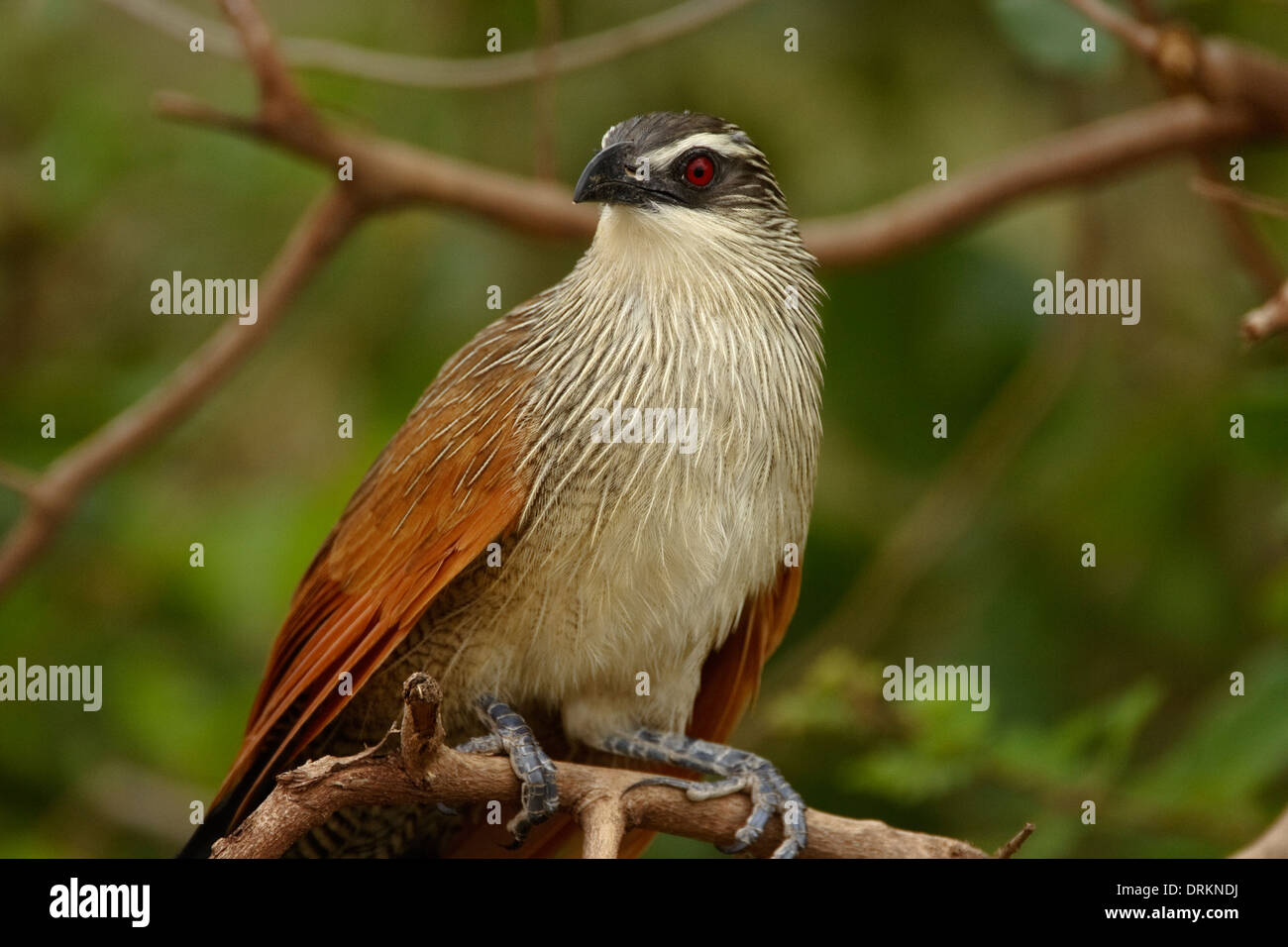 White-browed Coucal (Centropus superciliosus), - Stock Image