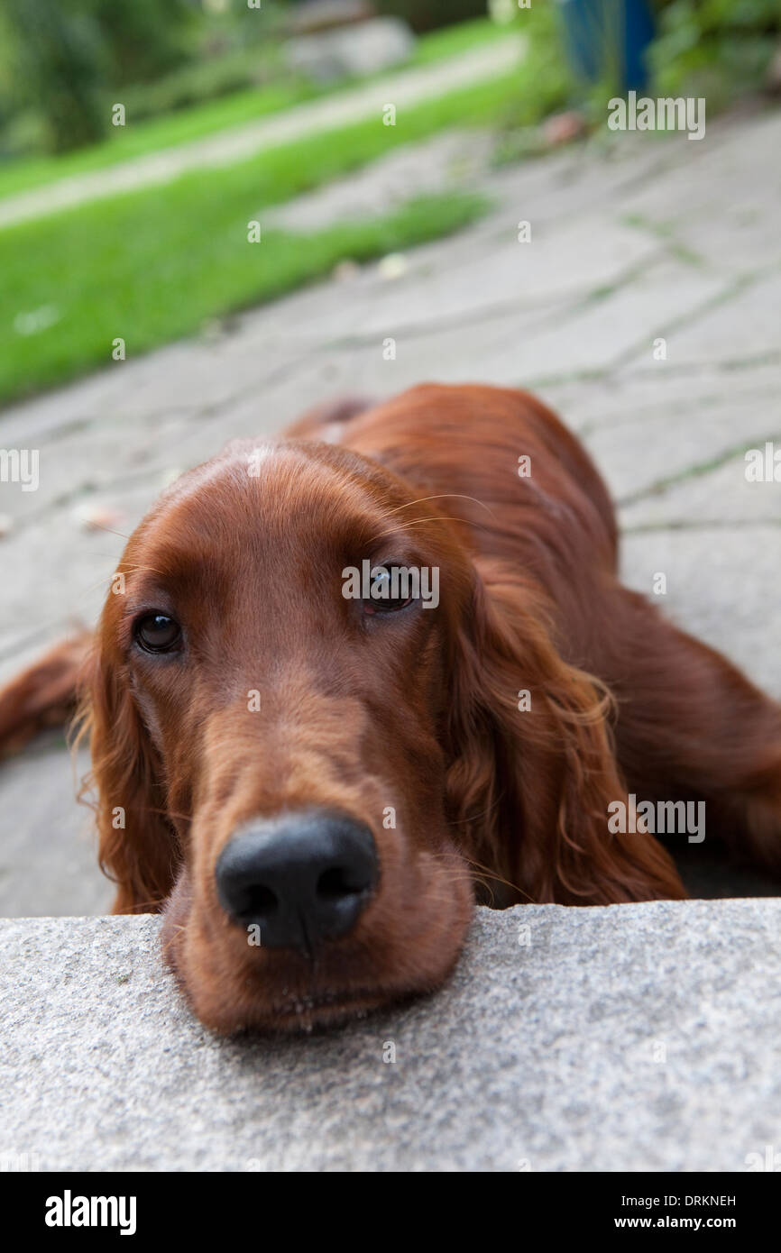 Irish Red Setter dog, outdoors and looking towards the camera. Stock Photo