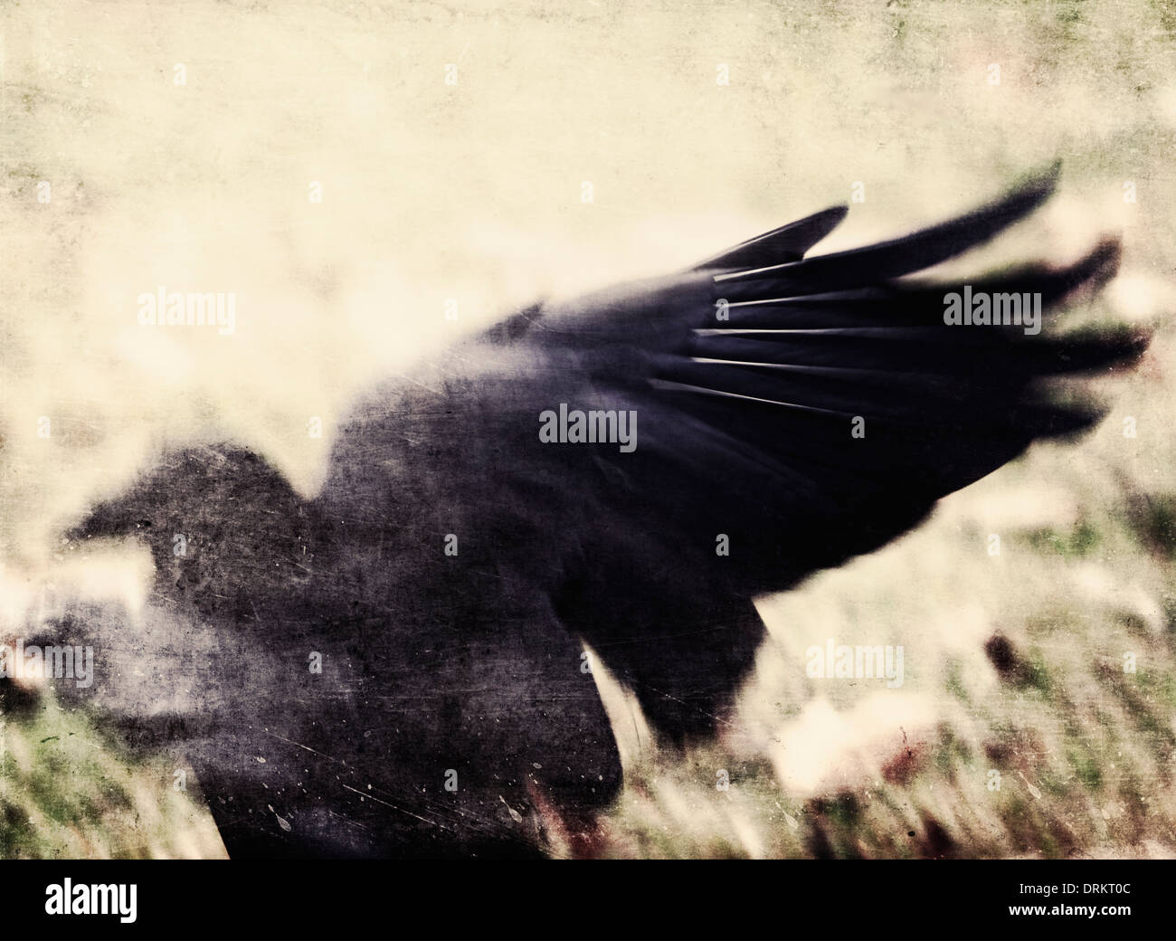 An impressionistic image of a raven taking flight. Stock Photo
