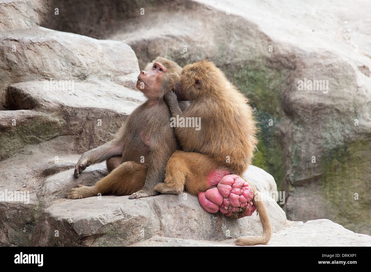 Baboons Engaging in Social Grooming - Stock Image