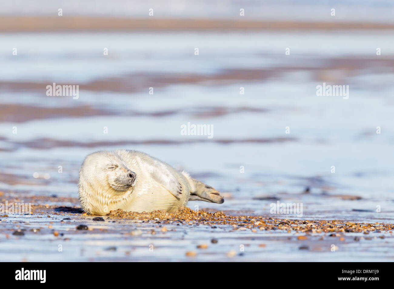 A white coated Grey seal pup sleeps on the beach, North Sea coast, Norfolk, England - Stock Image
