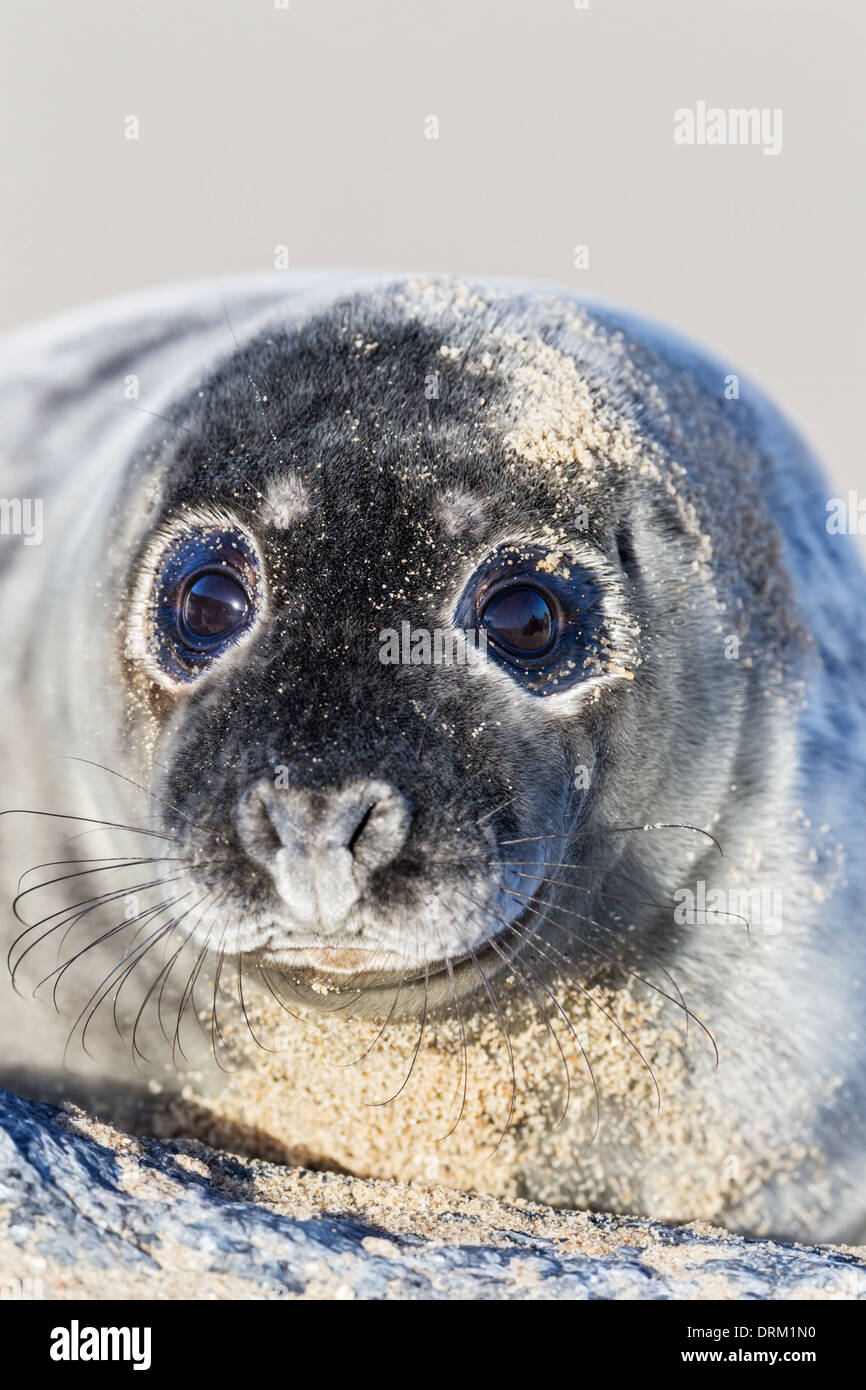 A close-up of a Grey seal pup in its first adult coat, North Sea coast, Norfolk, England - Stock Image
