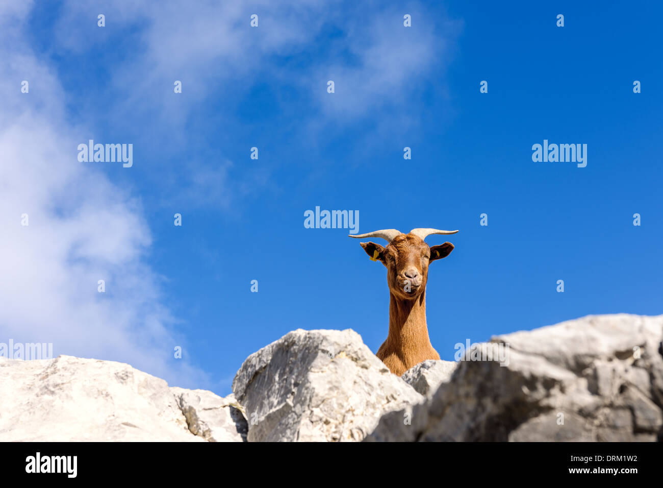 Spain, Cantabria, Picos de Europa National Park, Goat in the mountains - Stock Image