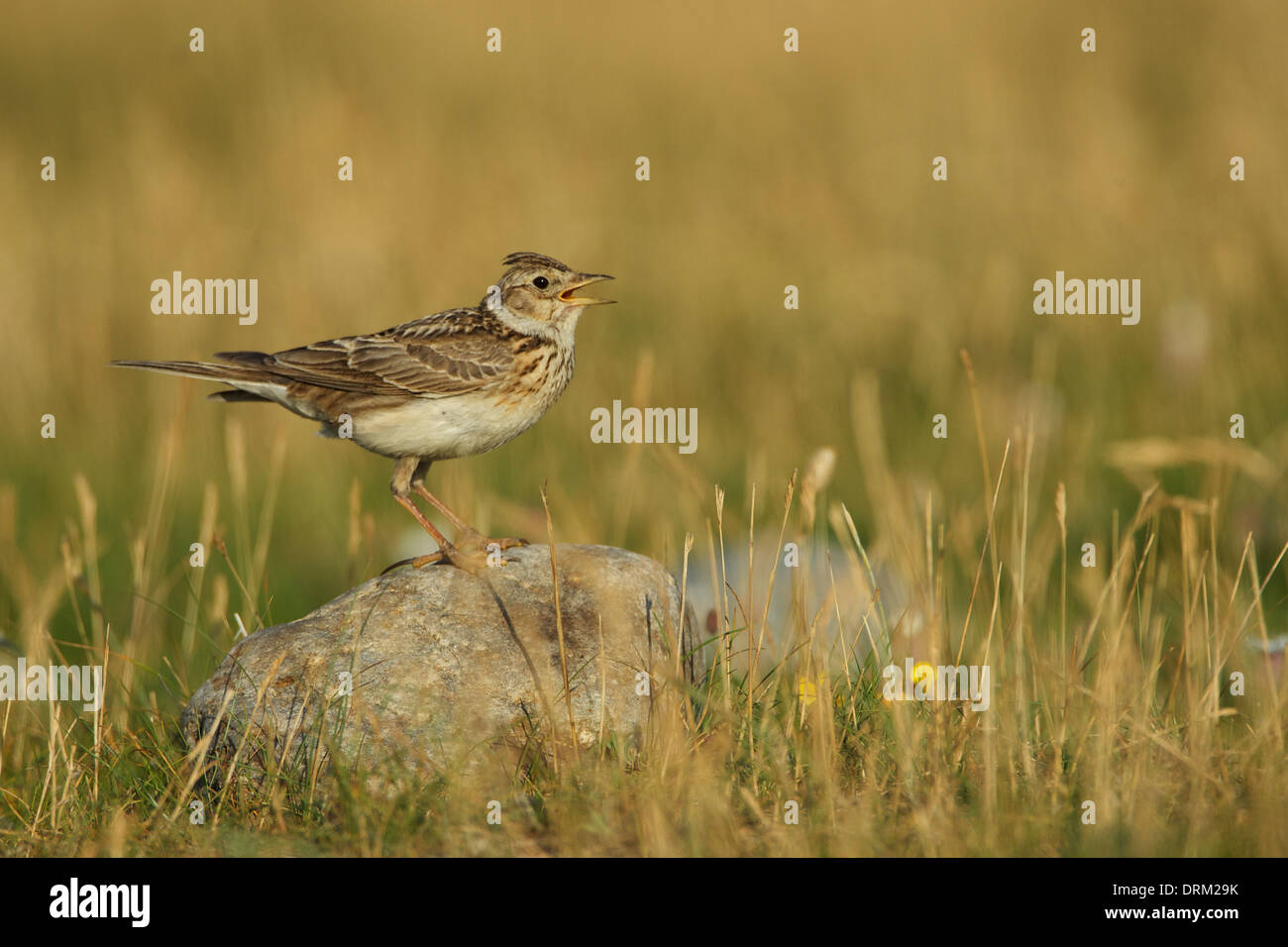 Skylark on rock singing 2©Jake Stephen Photography. - Stock Image