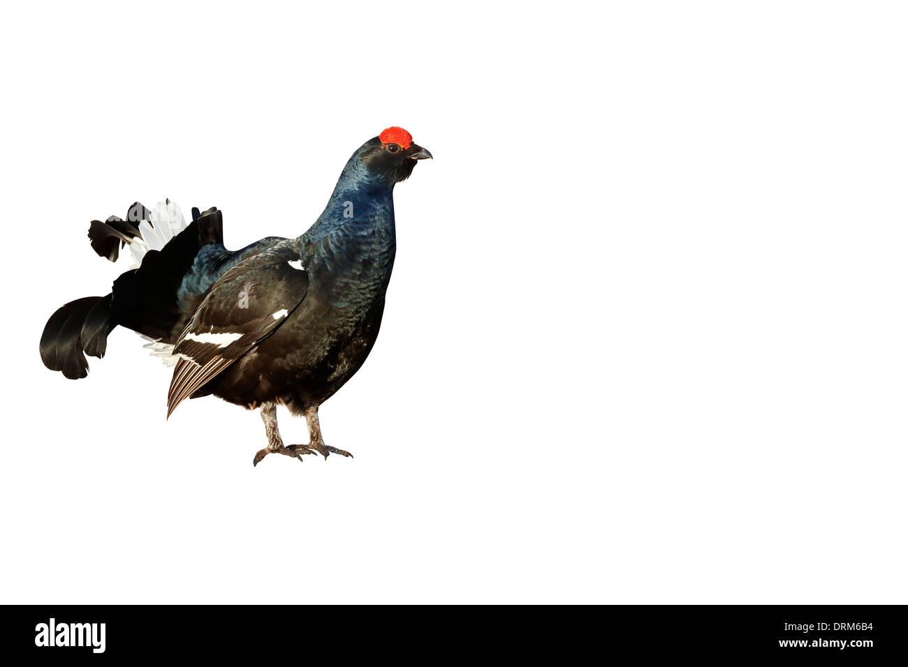 Black grouse, Tetrao tetrix, single male in marsh land, Finland, April 2013 - Stock Image
