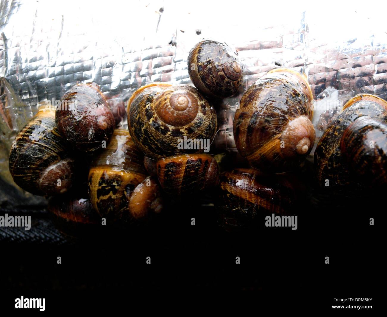 Garden snails hibernating during winter, UK - Stock Image
