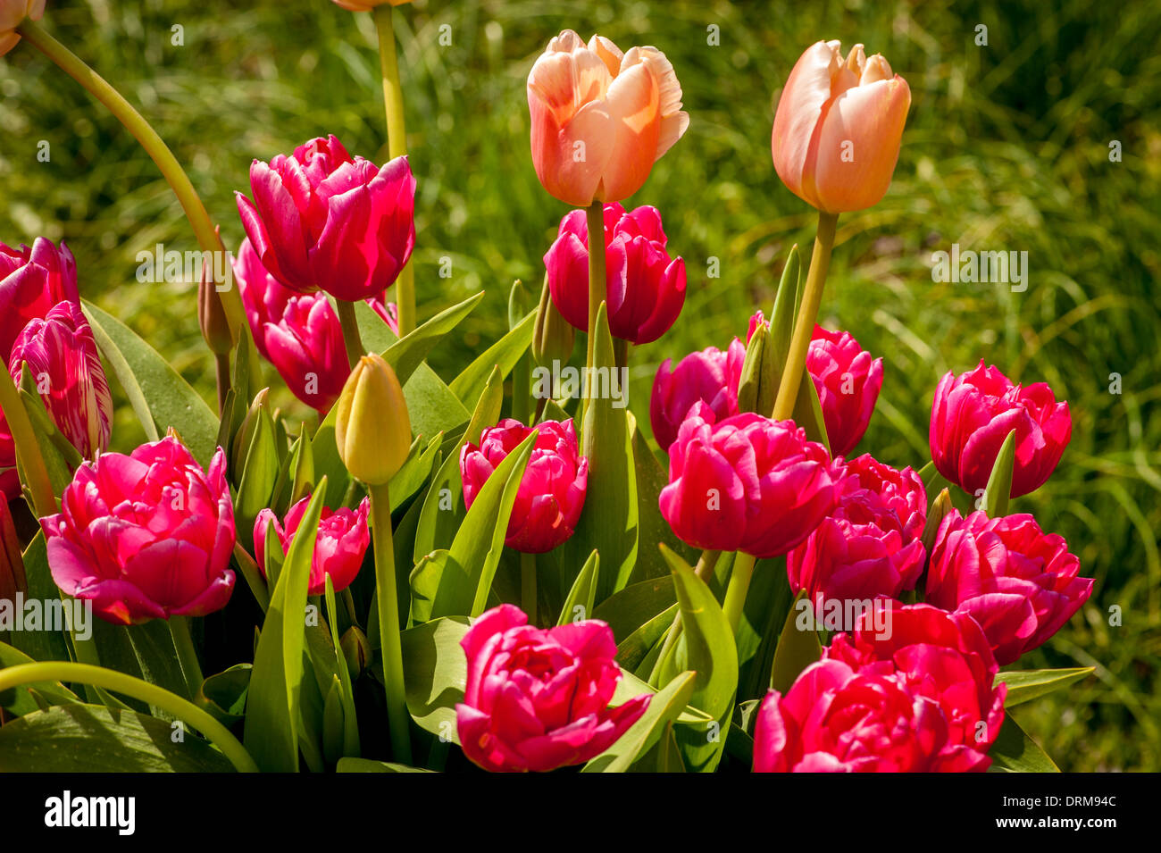 Pink and Salmon tulips - Stock Image