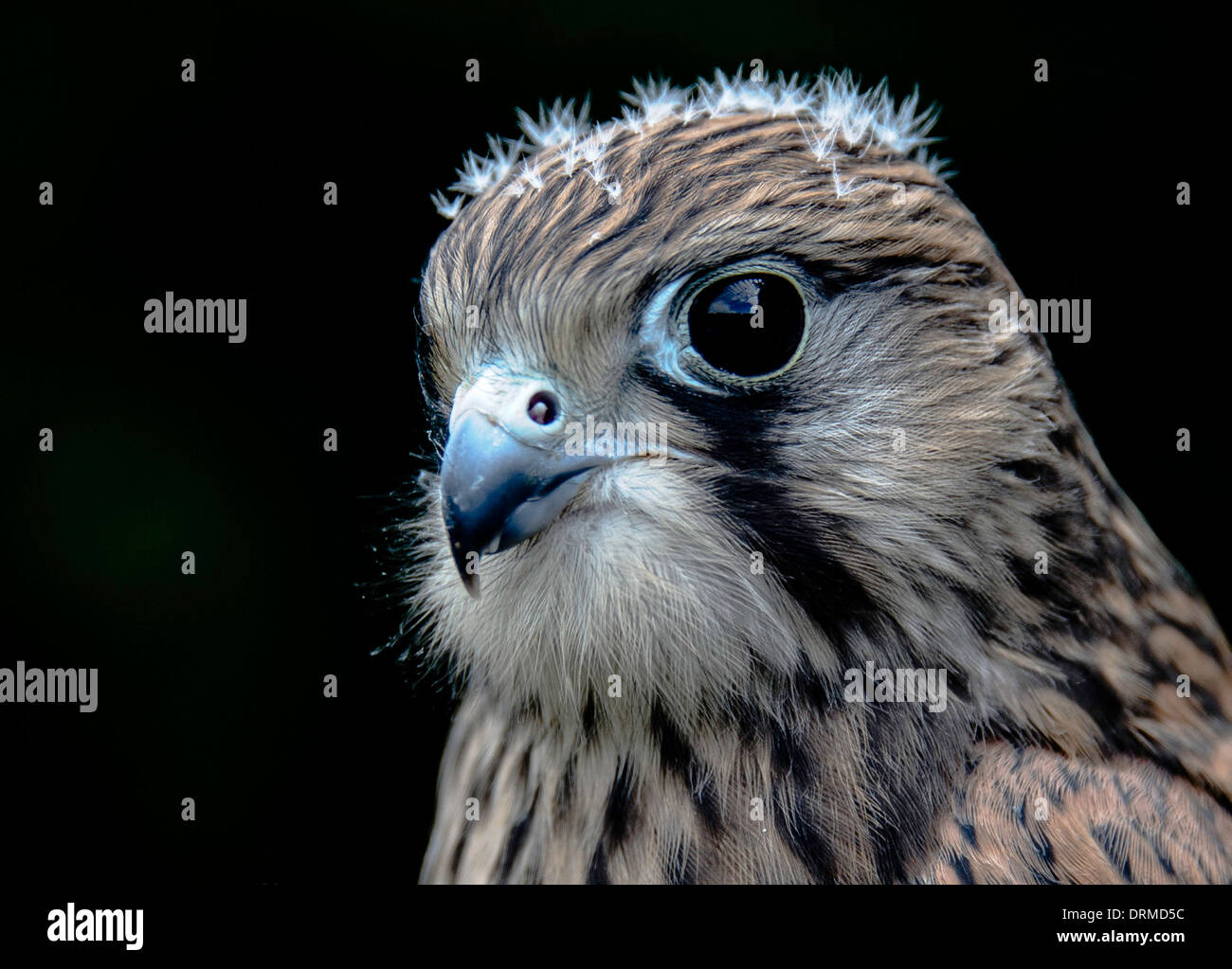 Young kestrel - Stock Image