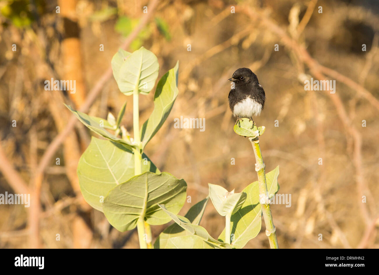 A Pied Bush Chat (Saxicola caprata) perched in the countrside in Rajasthan, India. - Stock Image