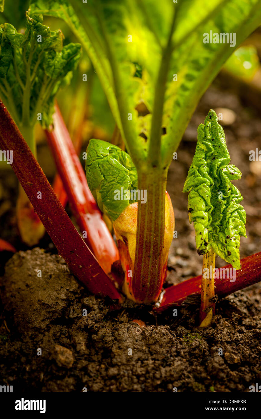 New rhubarb plant growing at side of mature plant - Stock Image