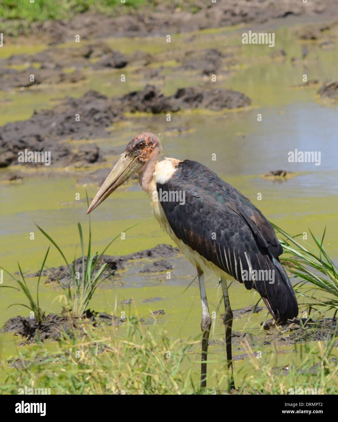 Marabu Stalk standing in a mud hole Stock Photo