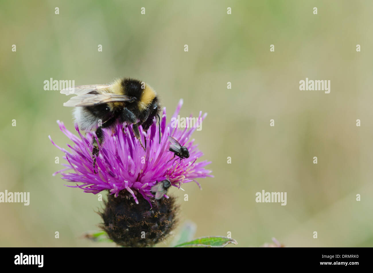 Scottish Bumble Bee feeding on a Brook Thistle. - Stock Image
