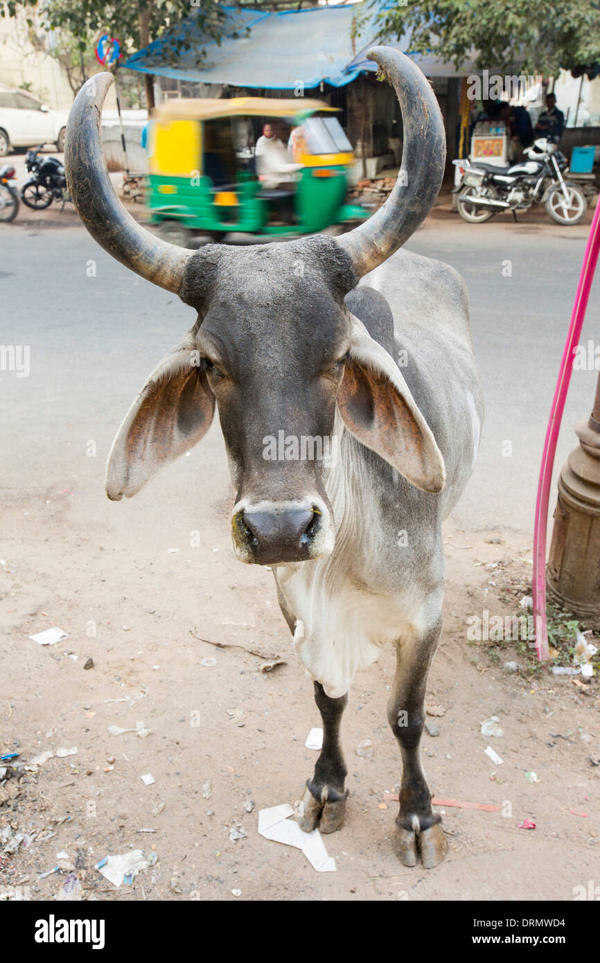Brahman cow in Ahmedabad, India. - Stock Image