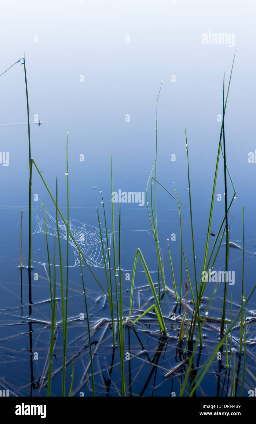 Dewdrops and spiderwebs on a misty morning, at a shore of a small lake in Finland. - Stock Image
