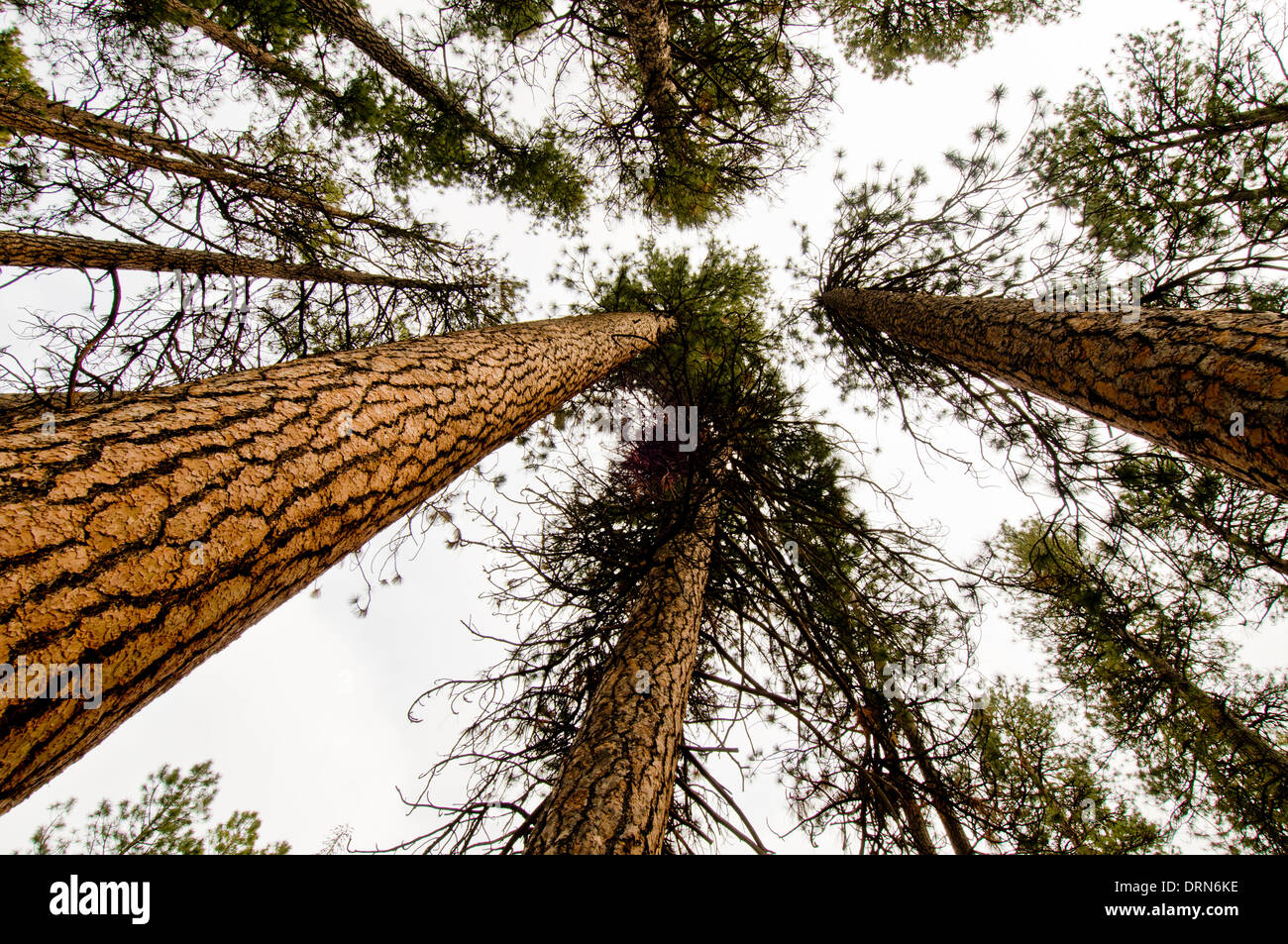 Ponderosa pine (Pinus ponderosa) forest in central Oregon near Sisters - Stock Image