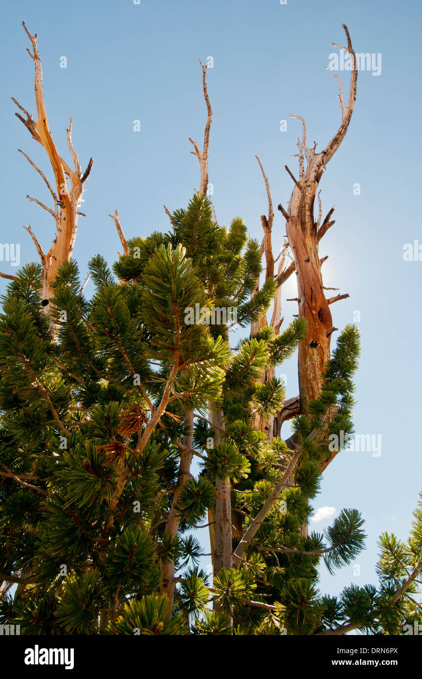 Whitebark Pine (Pinus albicaulis) in the White Cloud Mountains Idaho - Stock Image