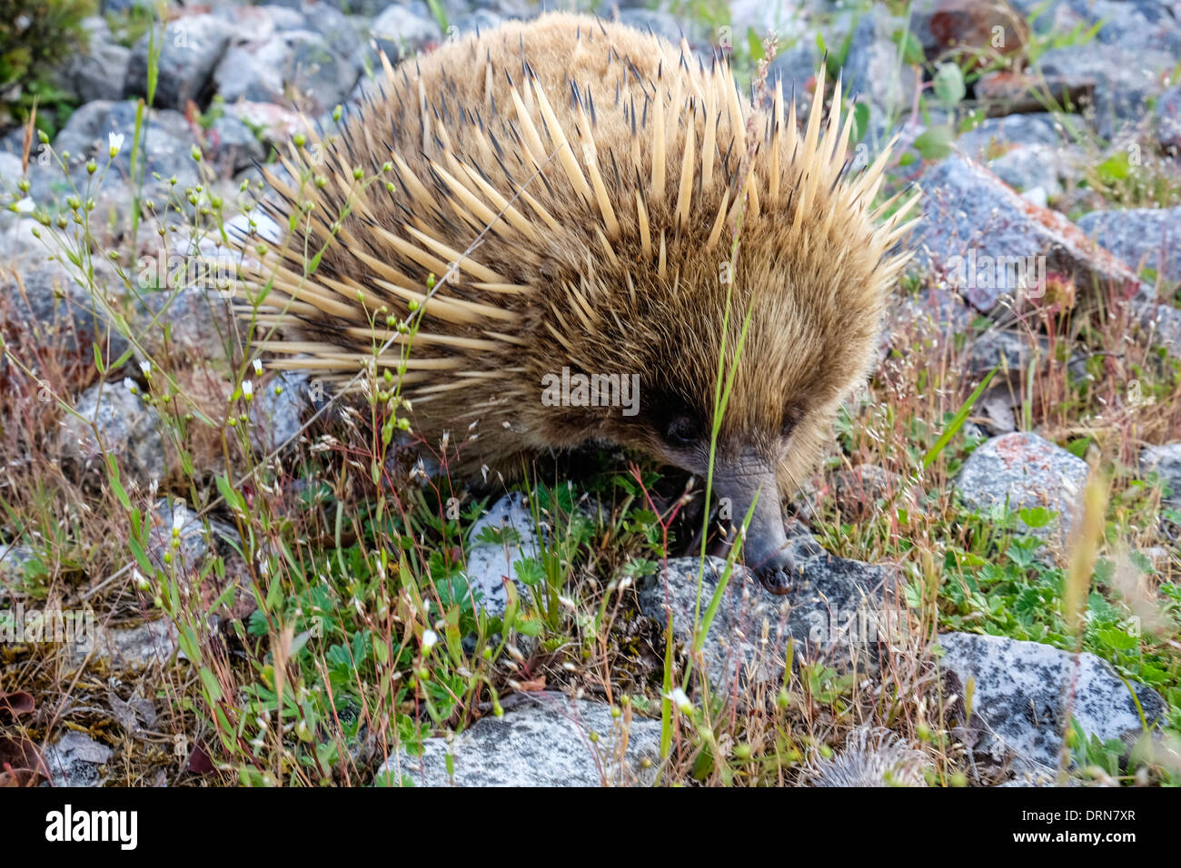 An Australian echidna, the spiny anteater foraging for insects - Stock Image