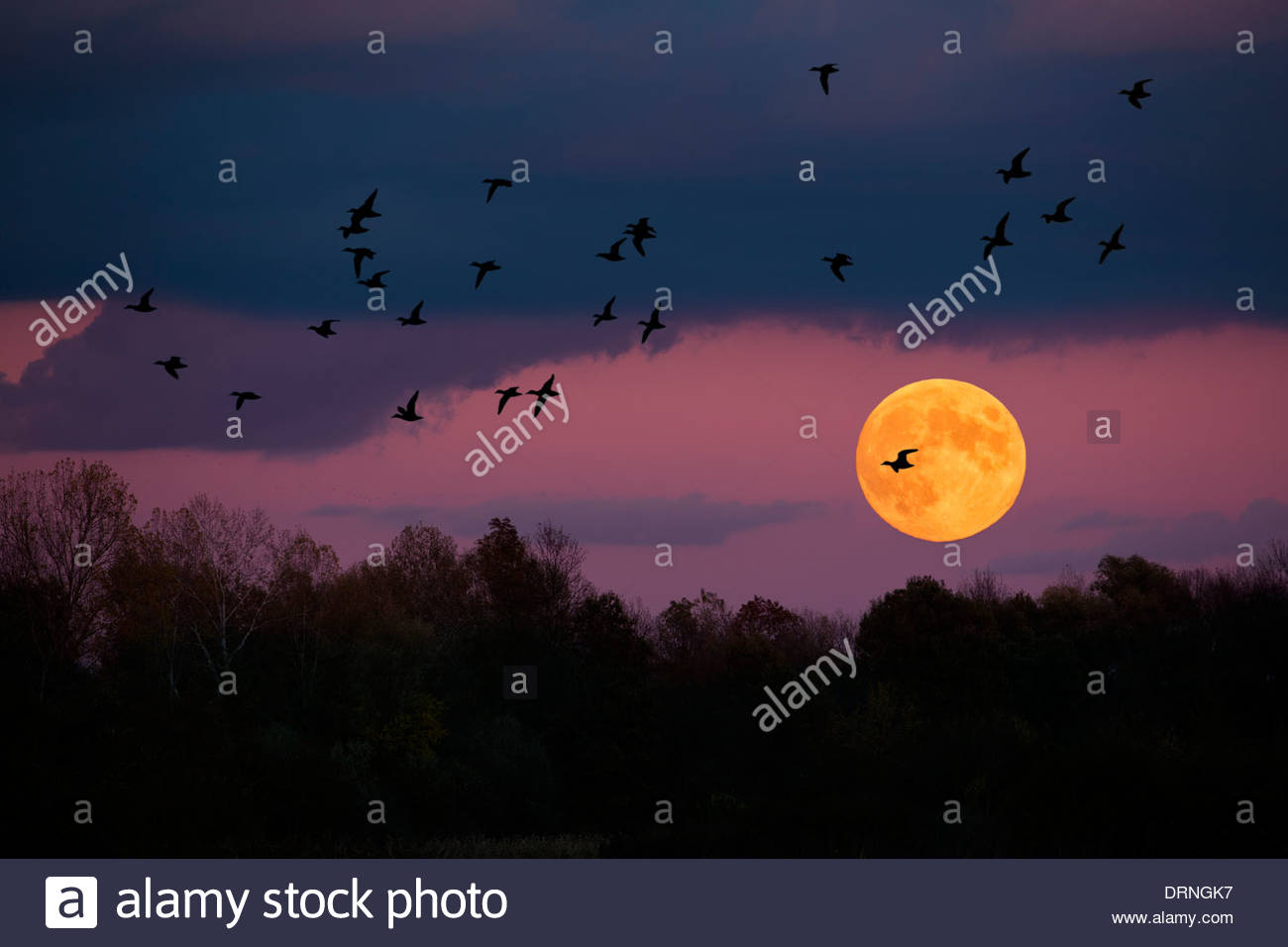 Flock of ducks fly over fool moon. - Stock Image