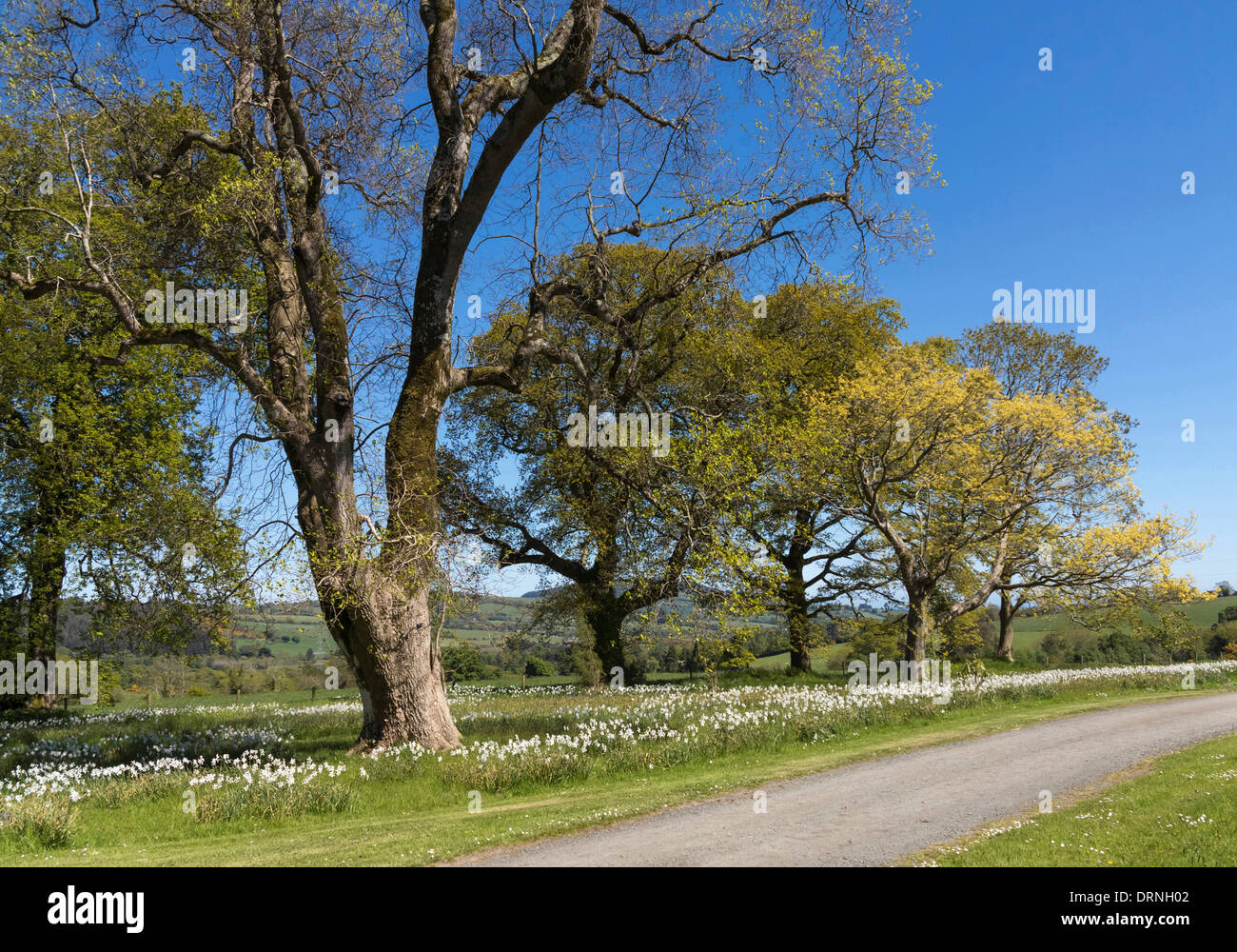 Ash trees in the Irish Countryside, Republic of Ireland, Europe - Stock Image