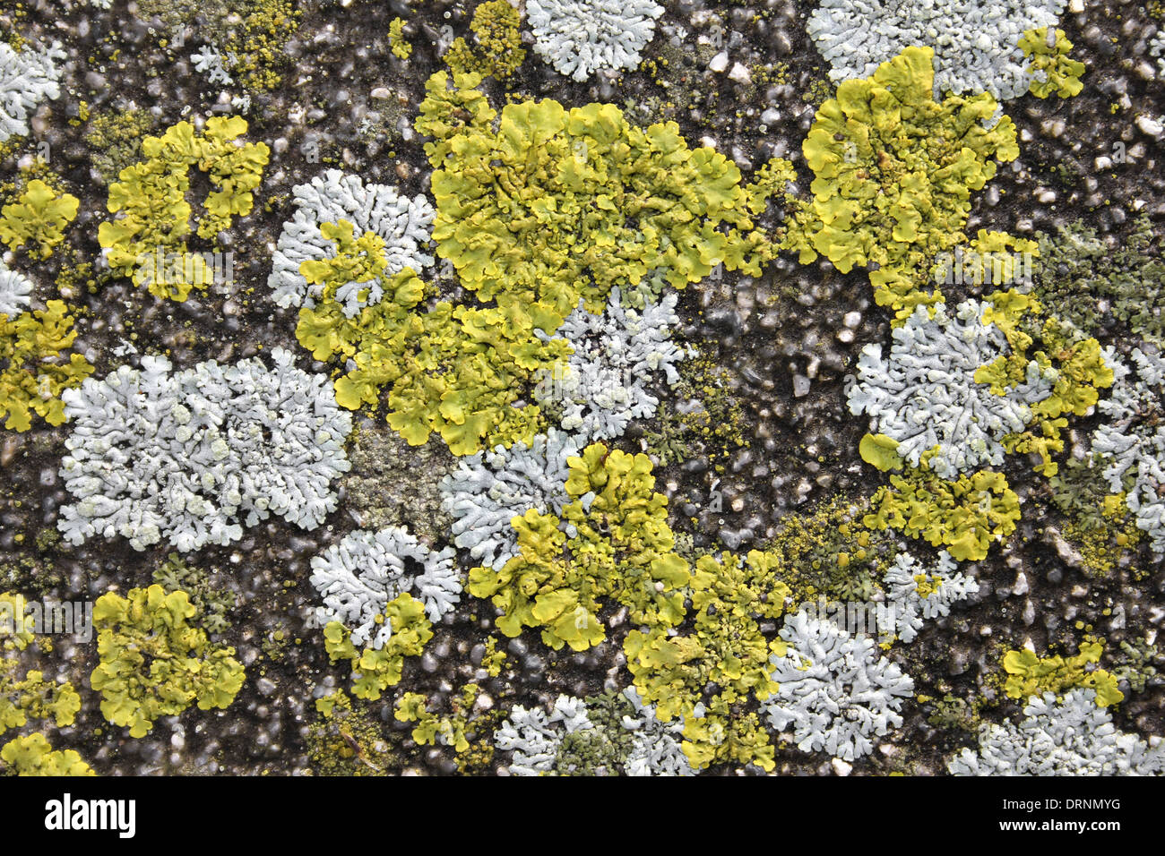 Encrusting Lichens On Stone - Stock Image