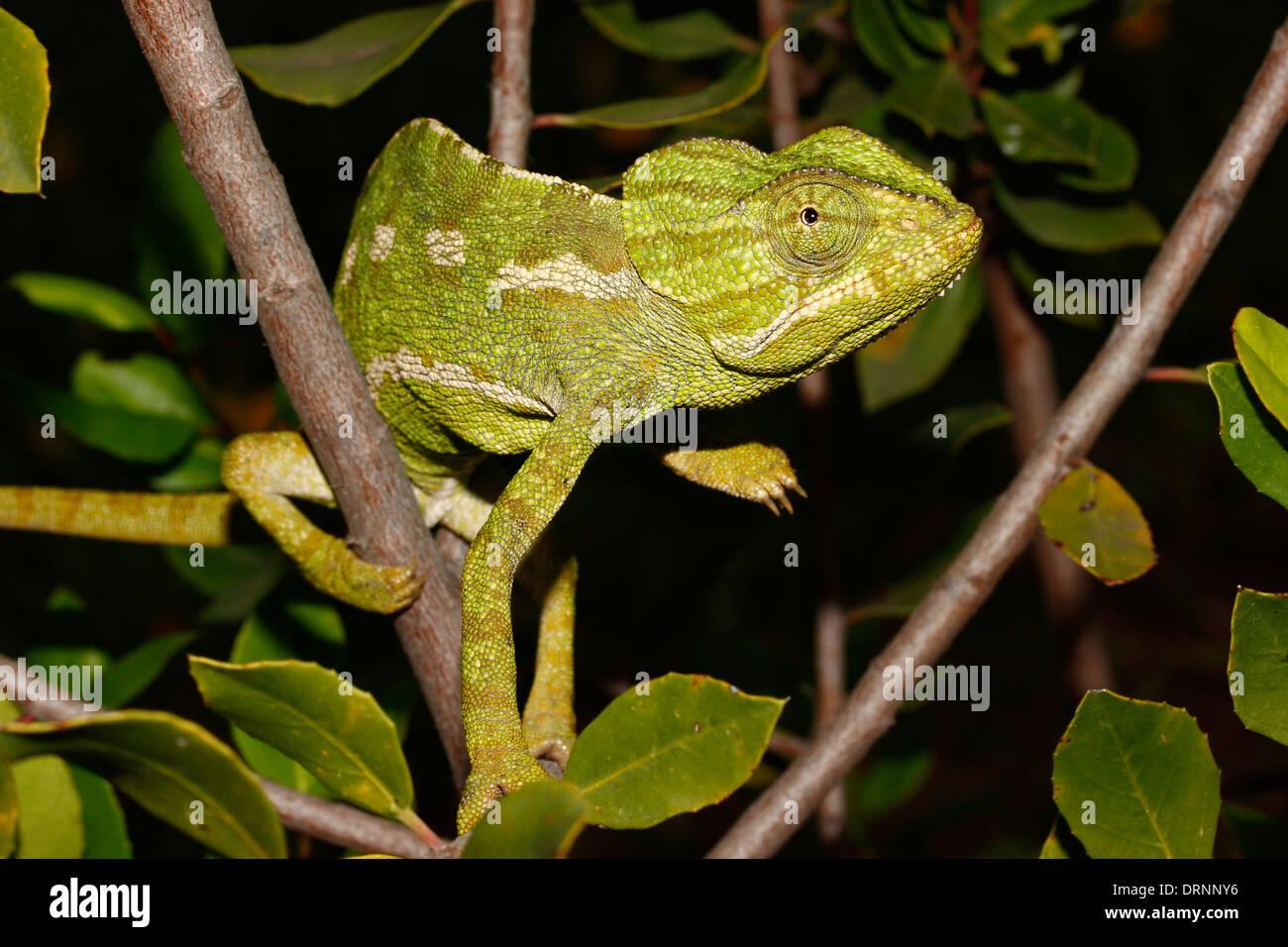The common chameleon (Chamaeleo chamaeleon) is a kind of scaly reptile, only representative of existing Chamaeleonidae - Stock Image