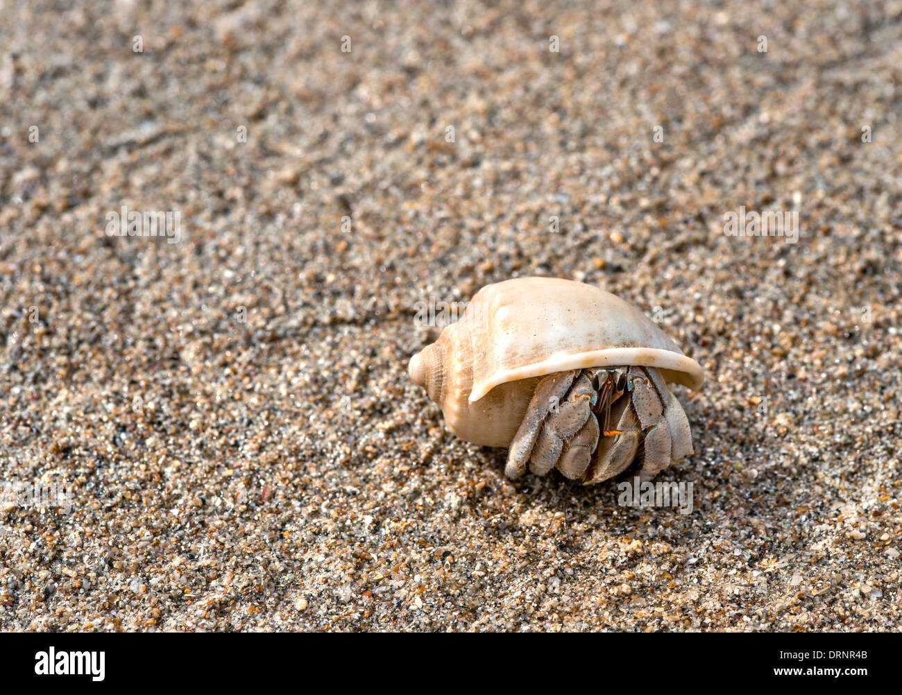 Hermit Crab at Beach of Koh Lanta, Thailand - Stock Image