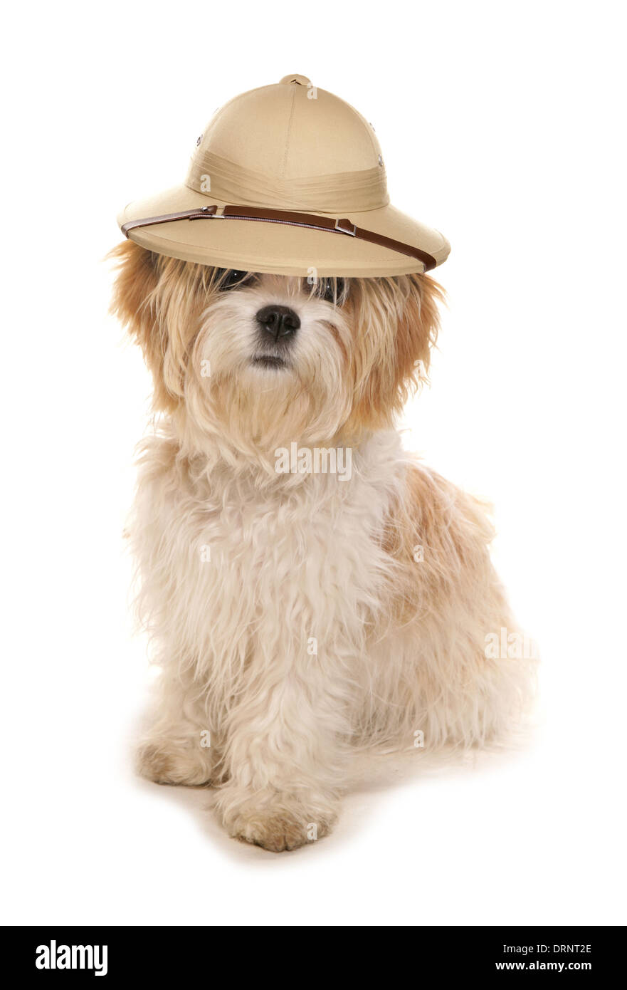 Shih tzu dog wearing a Safari explorers hat - Stock Image