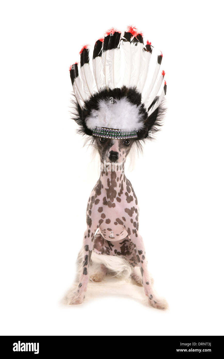 Chinese crested dog wearing a chief headdress - Stock Image