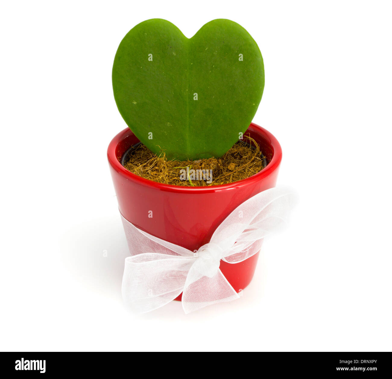 Cactus heart in a red pot on the white isolated background - Stock Image