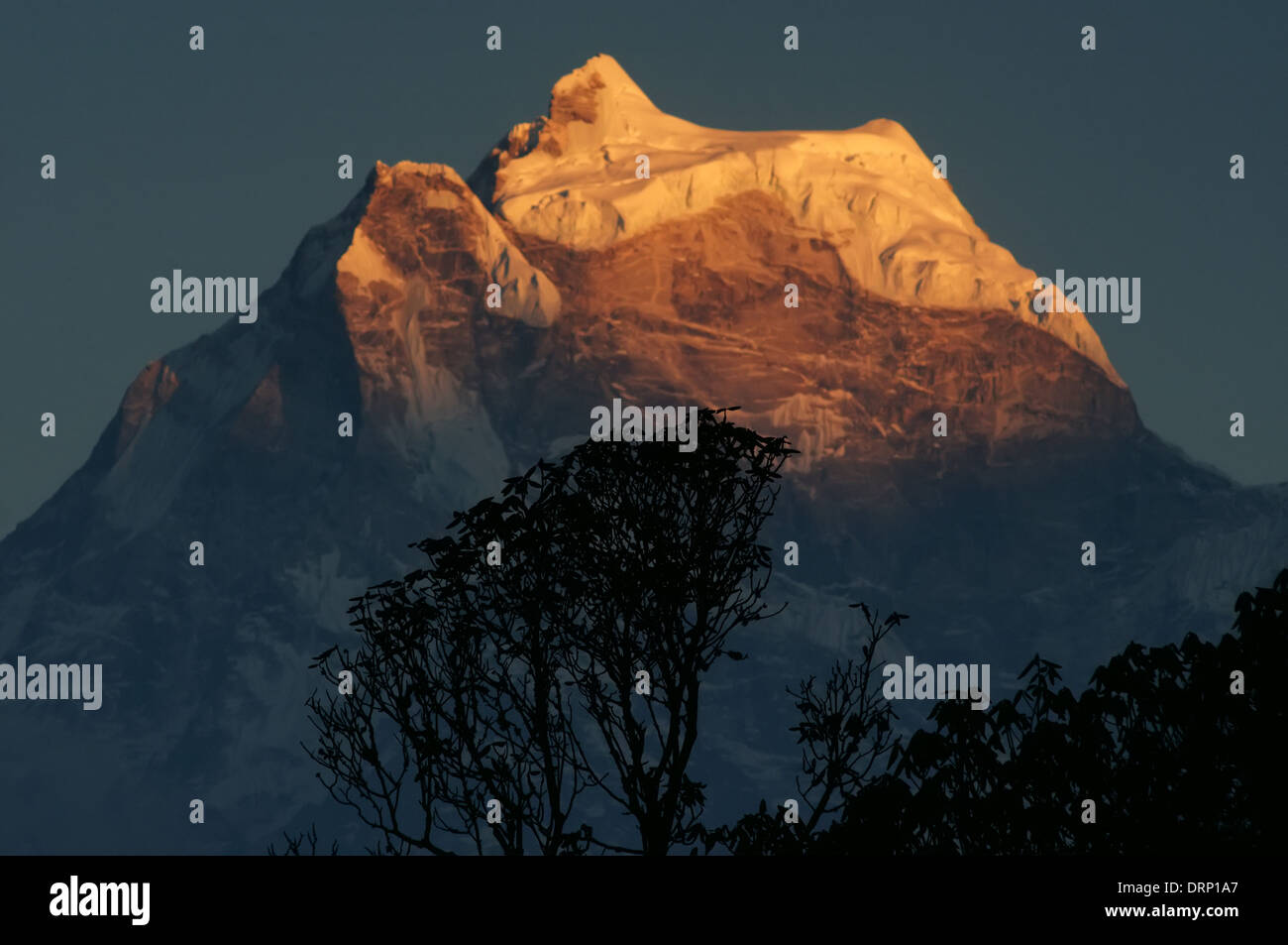A rhododendron silhouetted against Taweche at sunset in the Nepal himalaya Stock Photo
