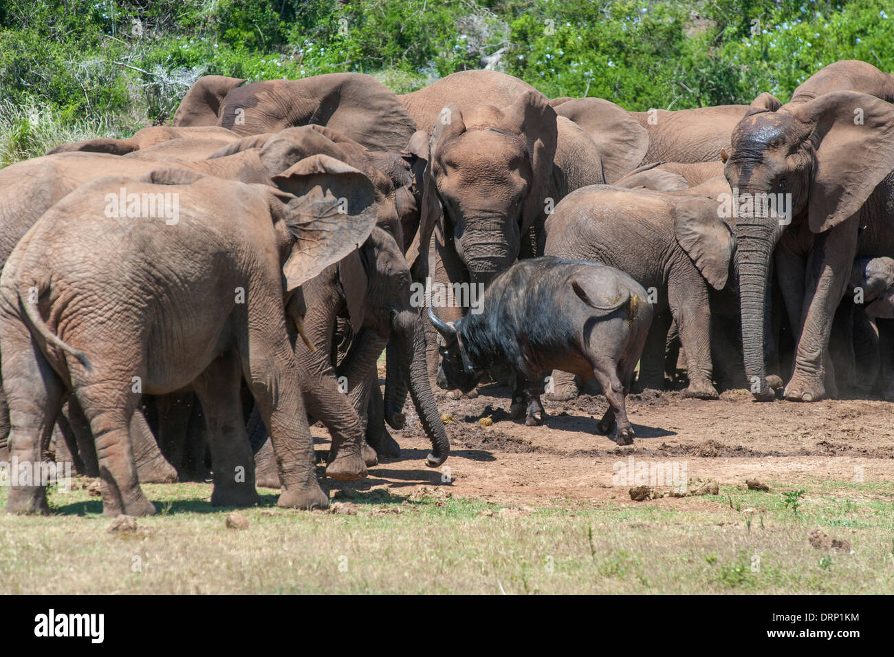 Fearless buffalo (Syncerus caffer) walking through a group of elephants (Loxodonta africana), Addo Elephant Park, - Stock Image