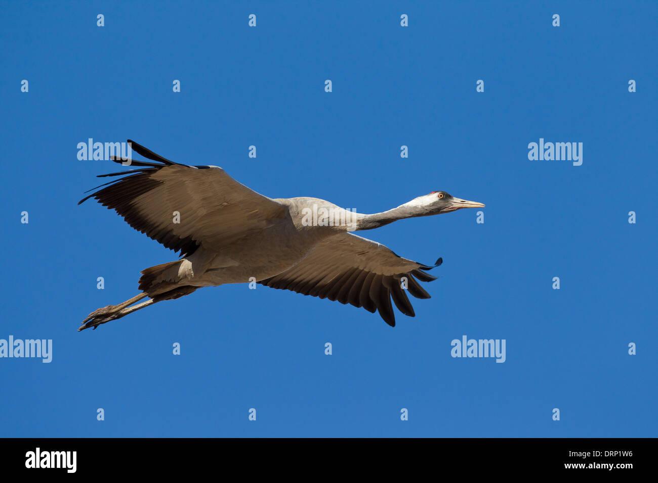 Common Crane / Eurasian Crane (Grus grus) flying against blue sky Stock Photo