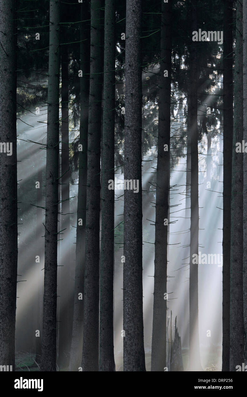Norway spruces / European spruce (Picea abies) and sunrays shining through trees of coniferous forest in the mist - Stock Image