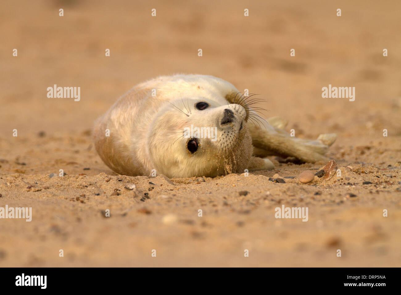Grey Seal, Halichoerus grypus pup Stock Photo